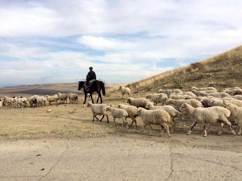 Schafherde, wie man sie in der Region häufiger antrifft