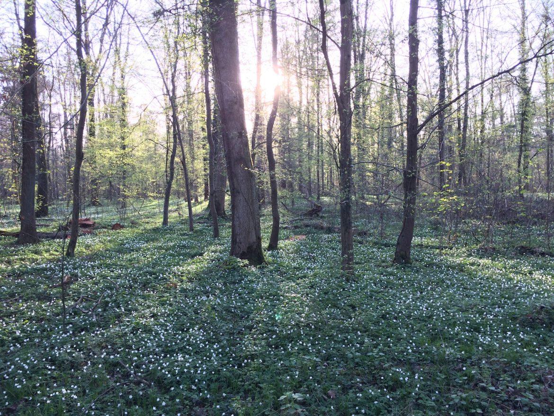 Wald-Sauerklee