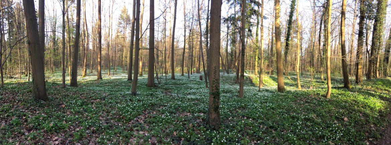 Wald-Sauerklee im Karlsruhe Oberwald